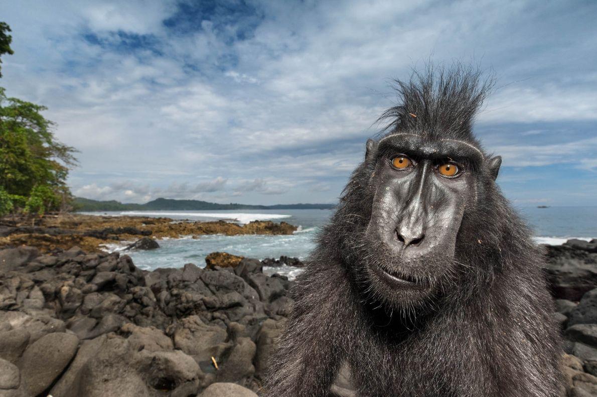 Um macaco-negro-de-crista (Macaca nigra)