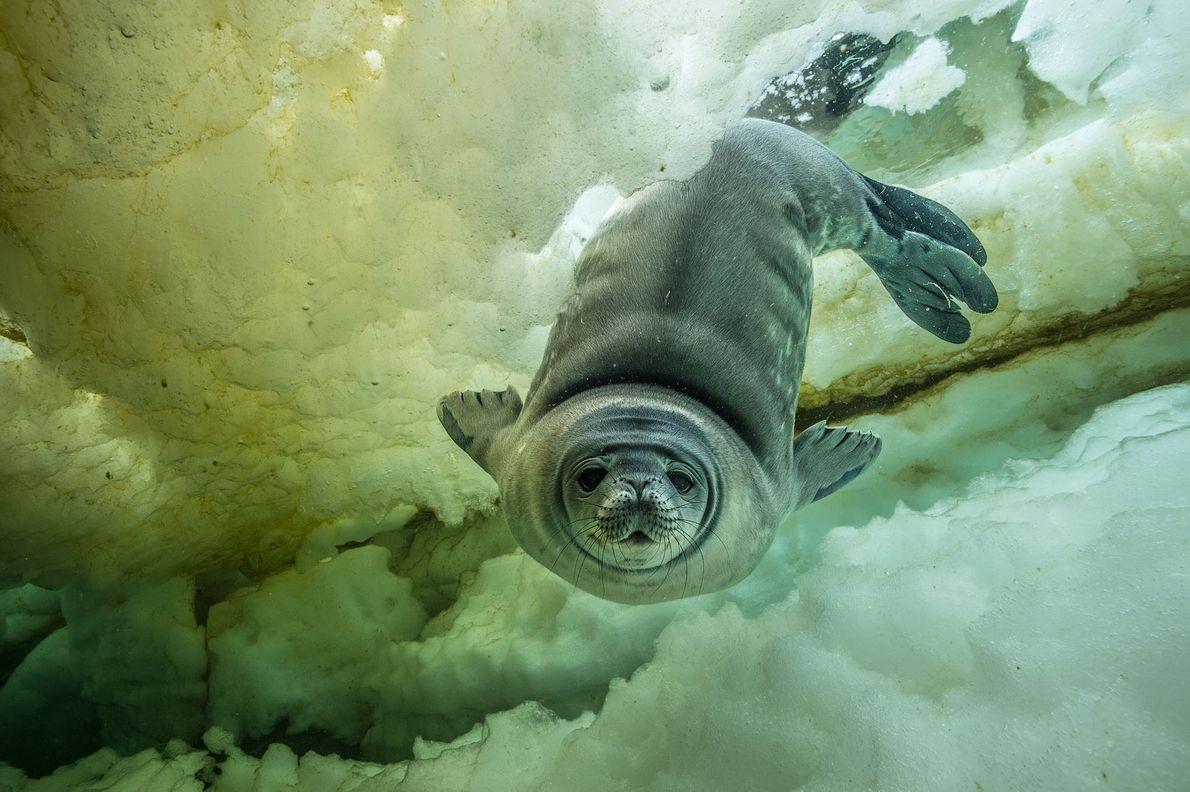 Uma jovem e curiosa foca-de-weddell