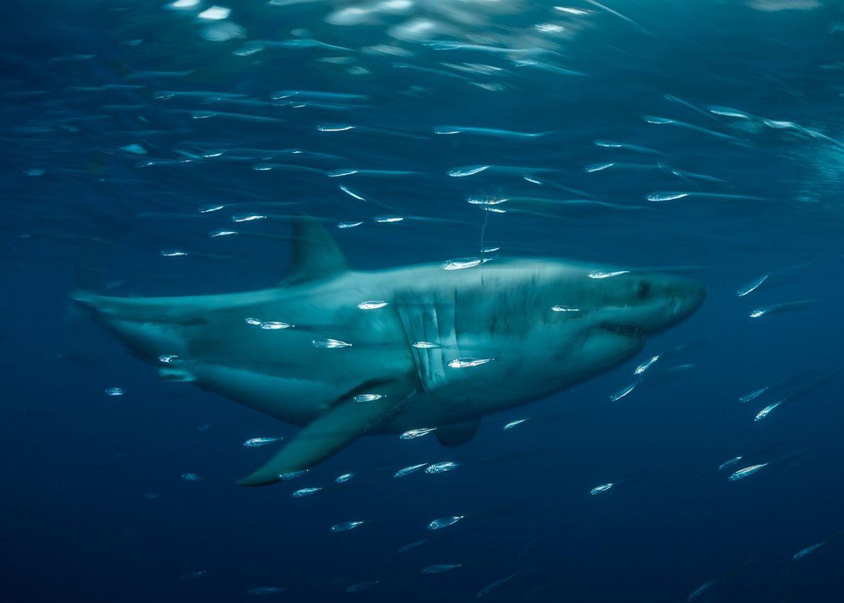 Tubarão-branco nada na Reserva da Biosfera da Ilha de Guadalupe