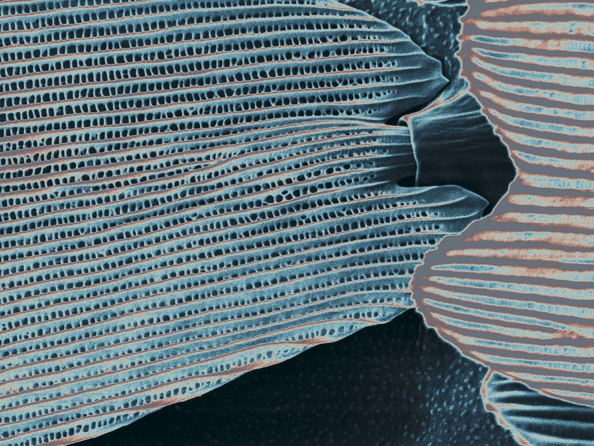 versão mais ampliada das asas da borboleta azul Morpho menelaus.
