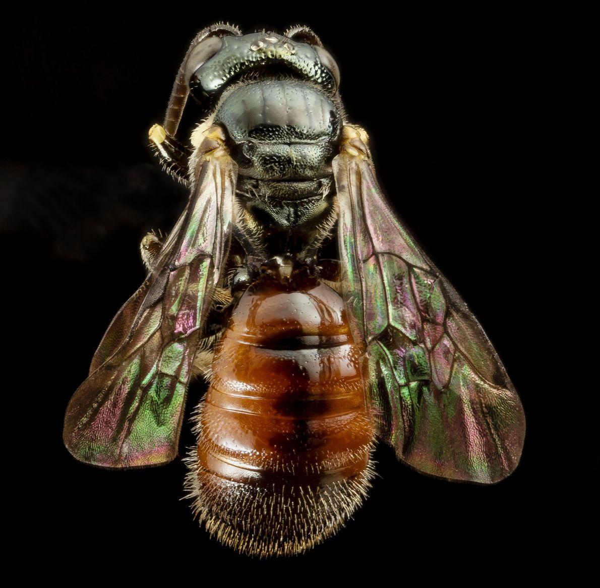 Esta super abelha minúscula é um macho de Ceratina tricolor.