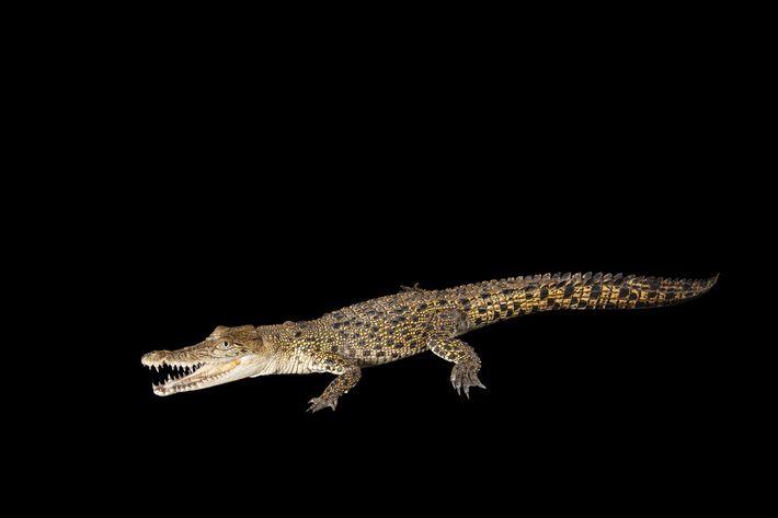 Crocodilo-de-água-salgada macho