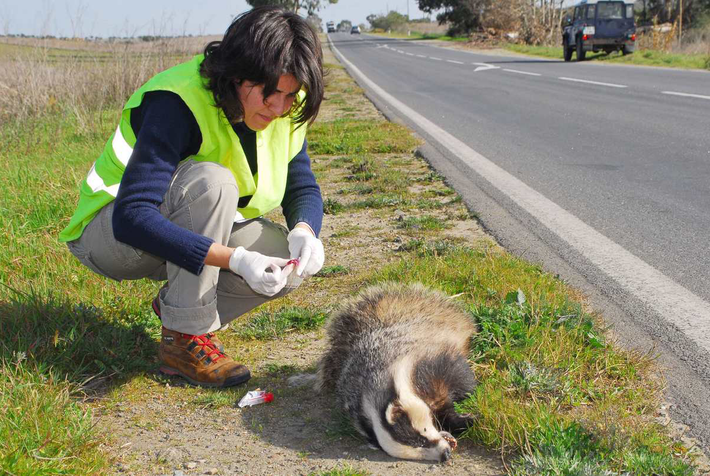 A investigadora Clara Grilo, em trabalho de campo, analisa um texugo (Meles meles) morto.
