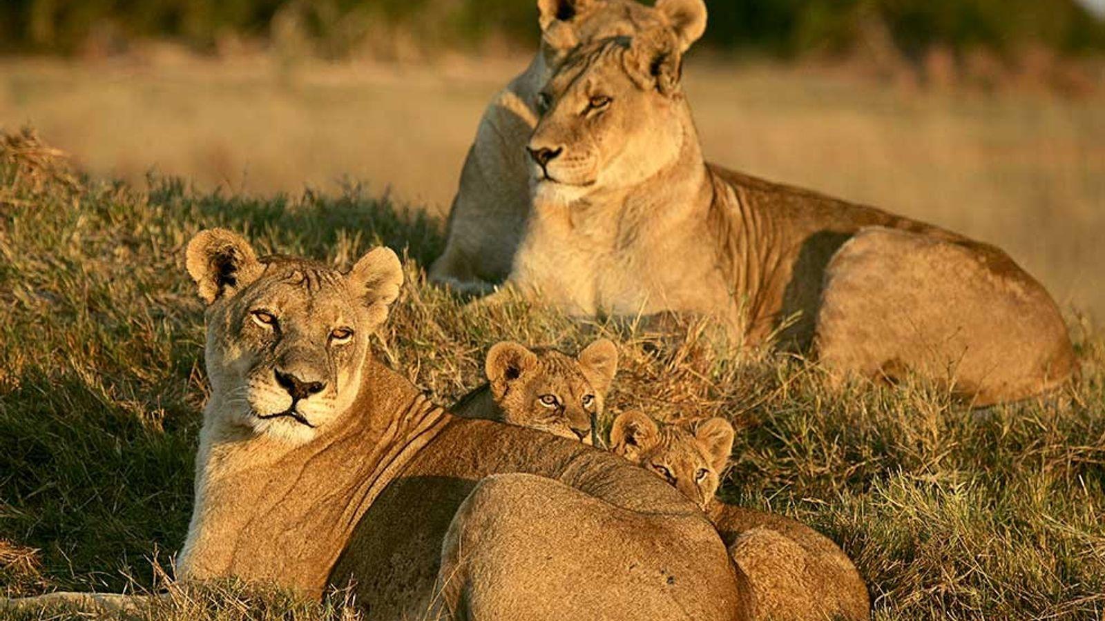 Três leoas e duas crias repousam no capim do delta do Okavango, no Botsuana.