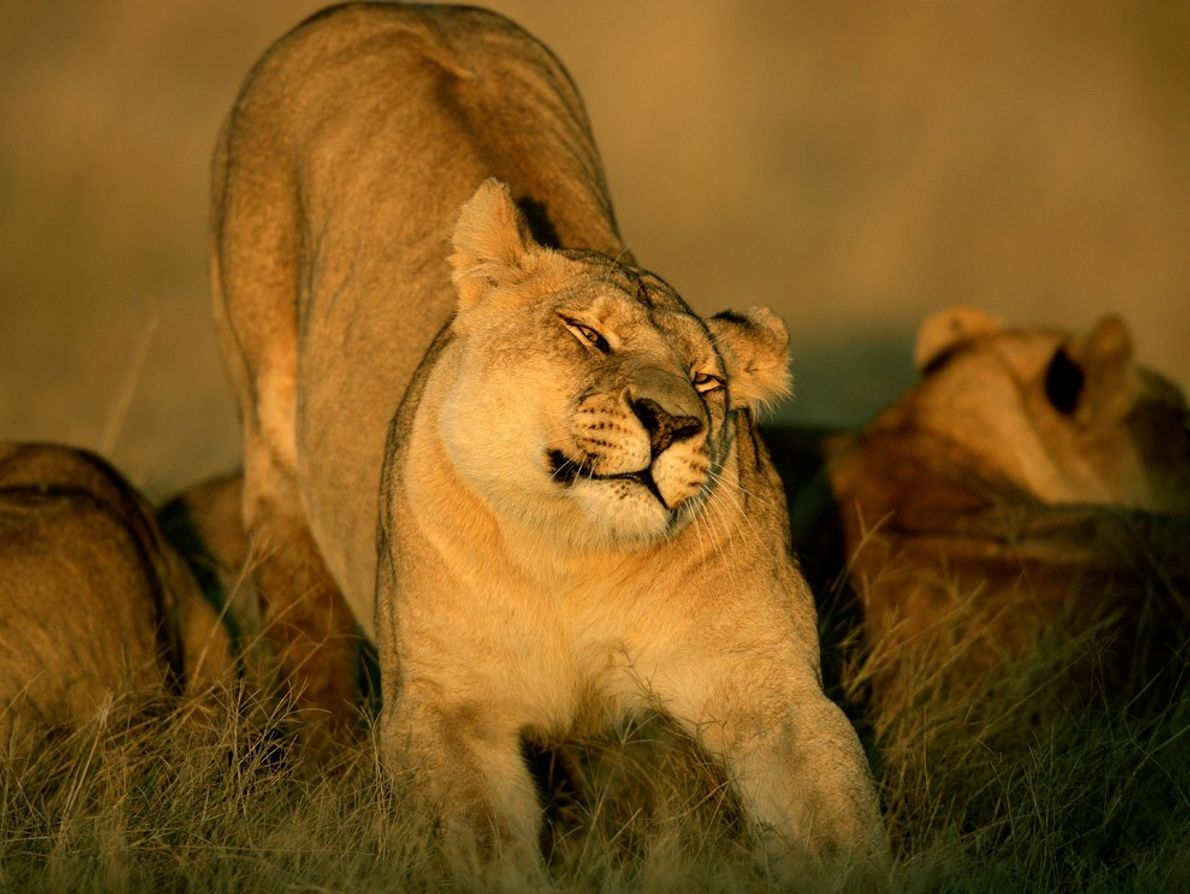 Uma leoa espreguiça-se no delta do Okavango, no Botsuana, enquanto outros membros do grupo repousam nas ...