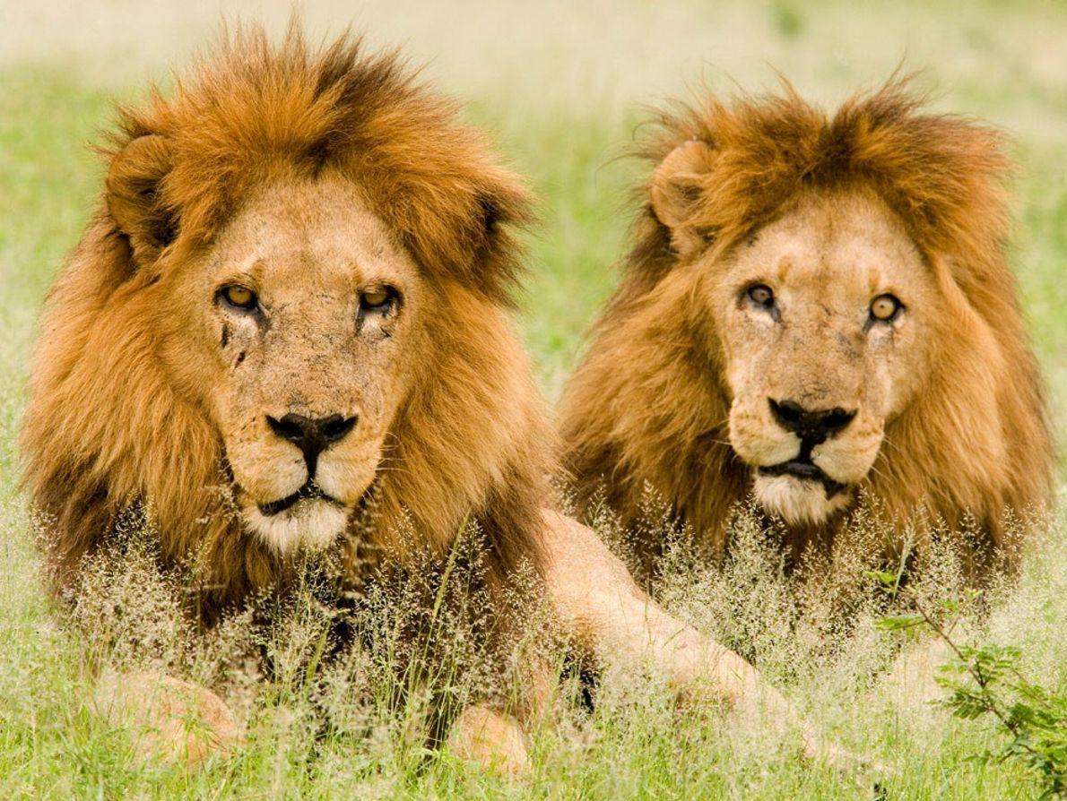 Dois jovens leões macho repousam no capim do delta do Okavango, no Botsuana.