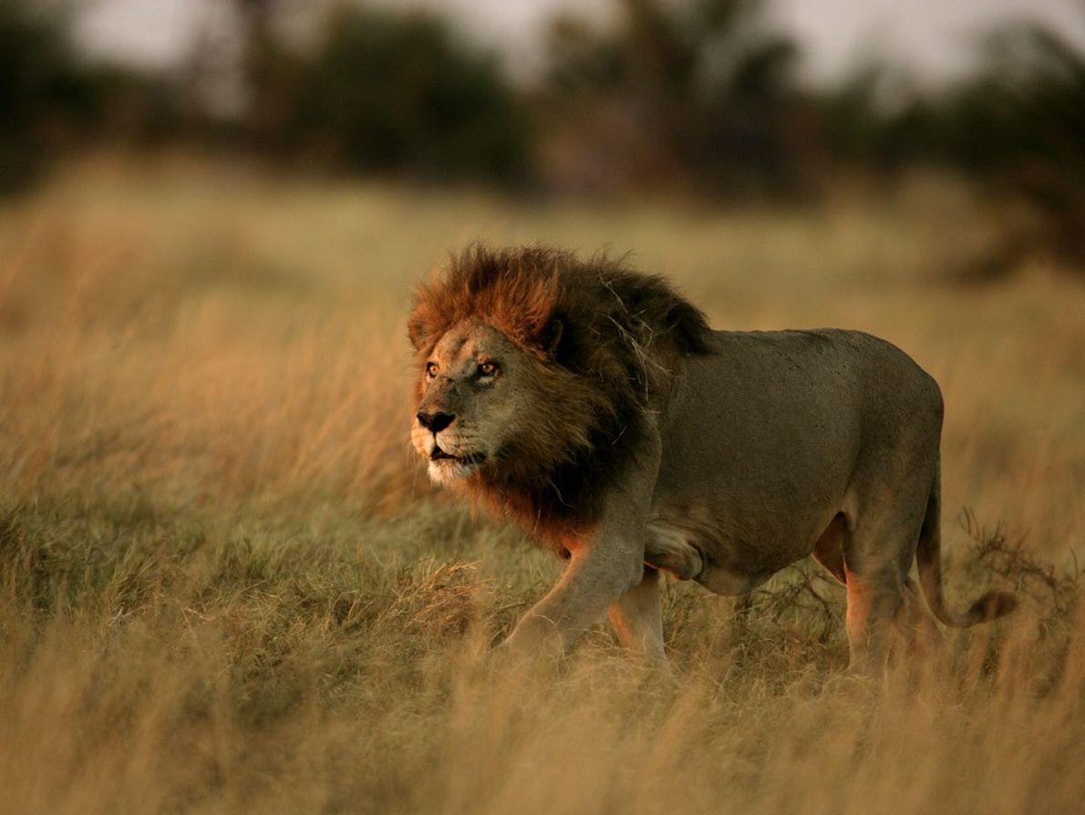 Um leão macho adulto caminha através de um prado do delta do Okavango, no Botsuana. Os ...