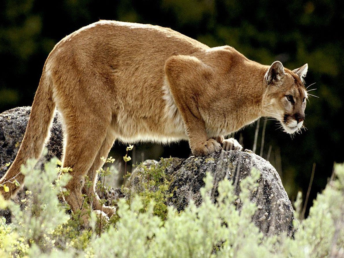 Os pumas não gostam de partilhar o seu território, estando constantemente em busca de invasores.