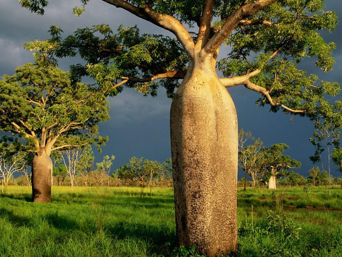 Baobás, parentes próximos dos embondeiros africanos