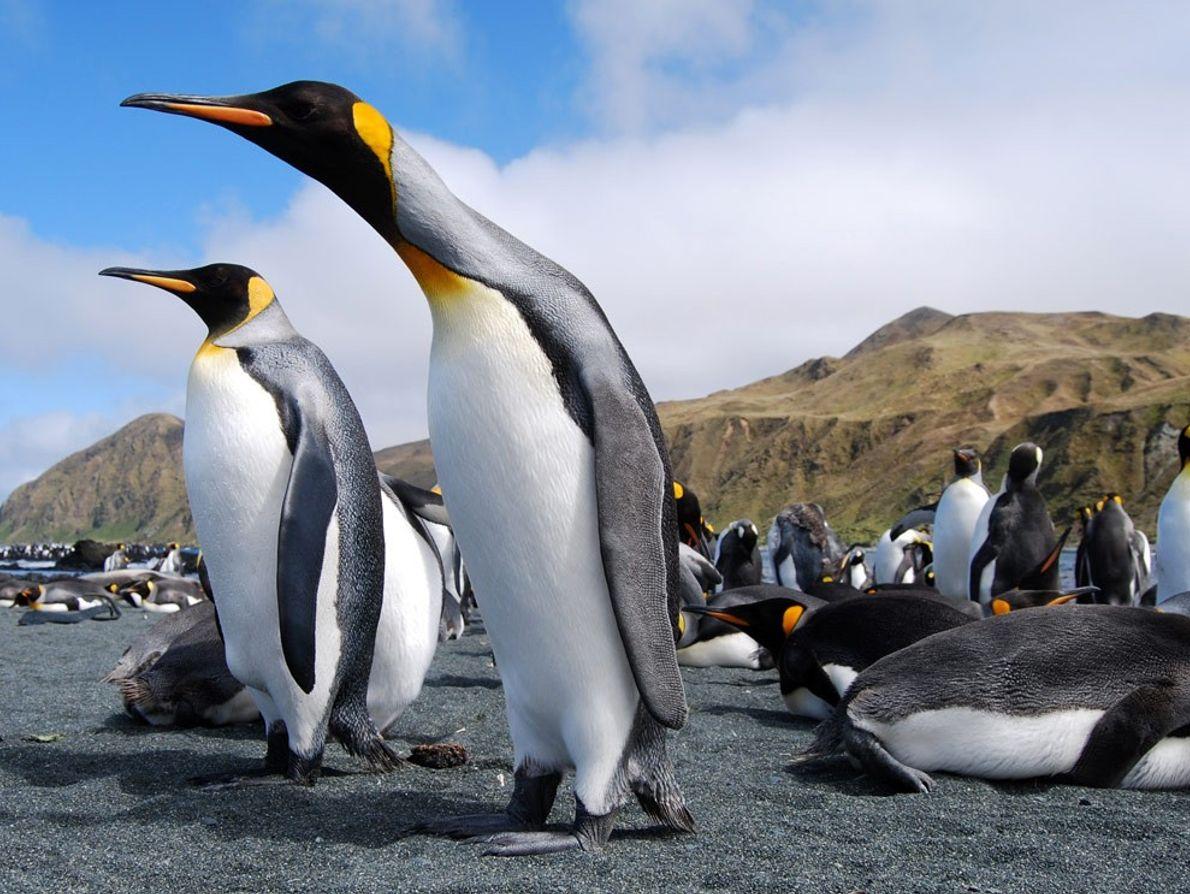 Pinguins-rei afluem à ilha de Macquarie, localizada a meio caminho entre a Austrália e a Antártida