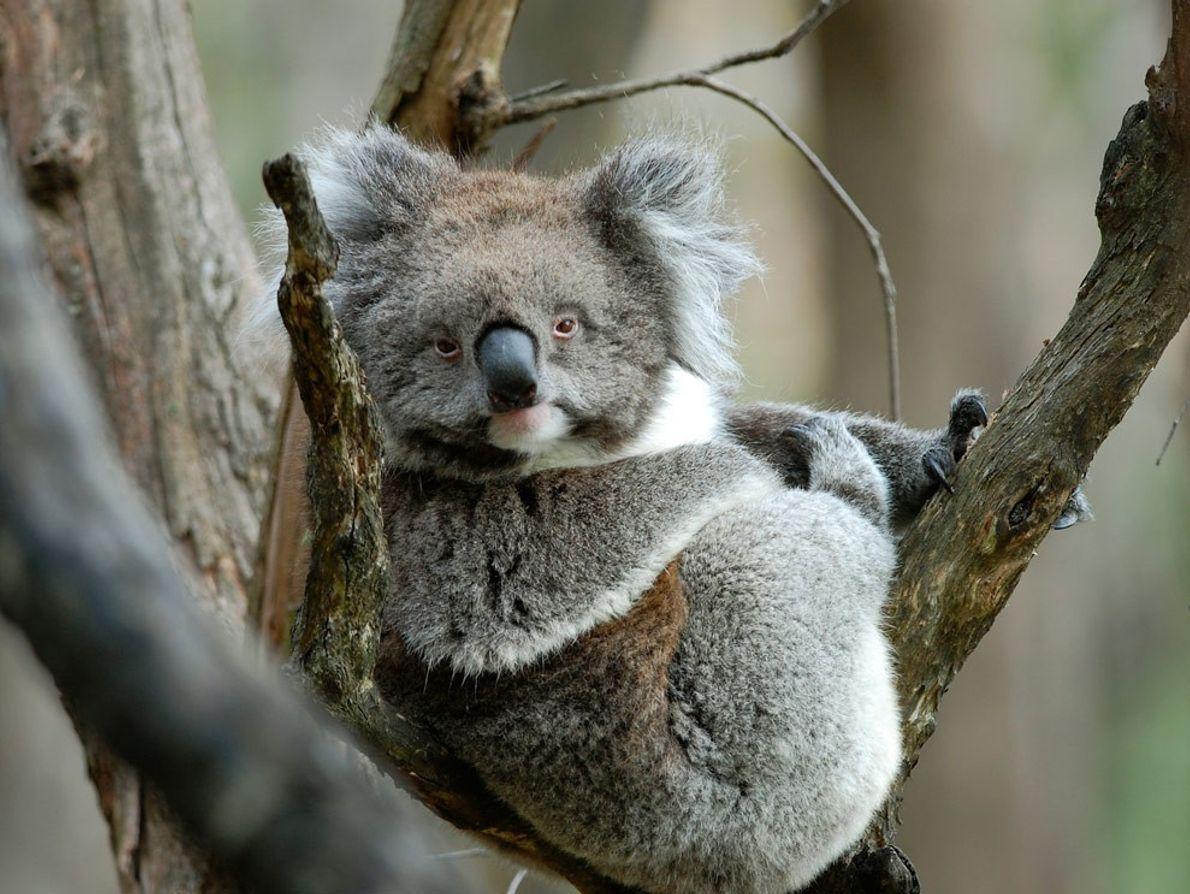 Um coala sonolento relaxa aninhado numa árvore em Adelaide