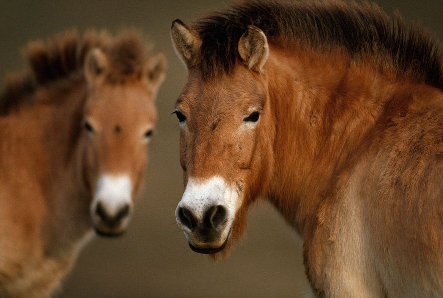 Um grupo de cavalos de Przewalski, outrora considerado extinto na selva.