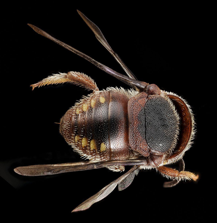 A abelha Pachyanthidium é uma espécie nativa de África.