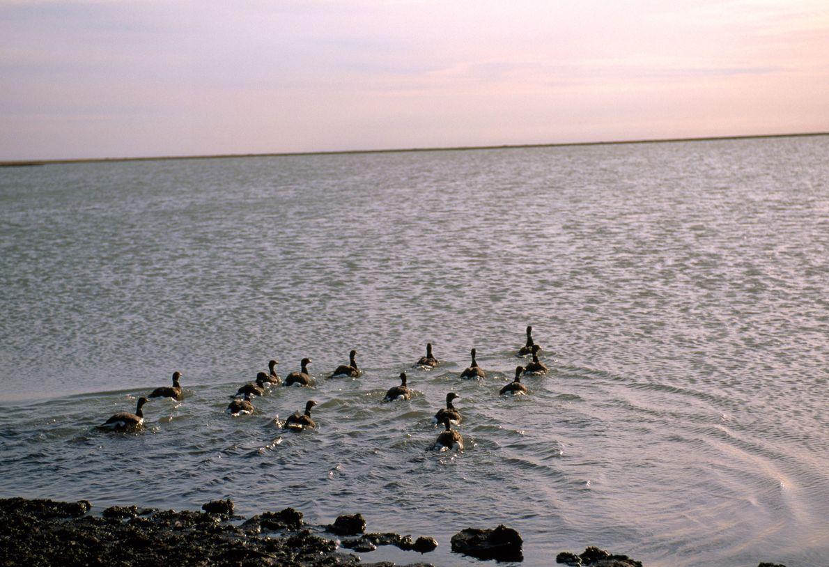Gansos-de-faces-negras a nadar.