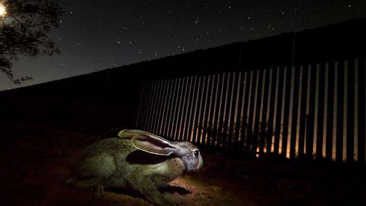 Muro EUA-México Continua em Expansão, Apesar da Pandemia, Ameaçando Jaguares e Outros Animais