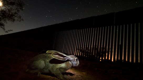 Uma lebre perto do rio San Pedro, no México, na parte sul do muro fronteiriço. Estes ...