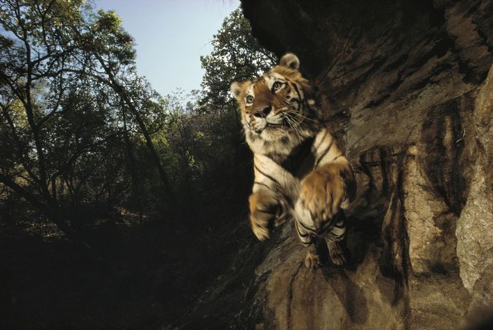 Um tigre chamado Charger