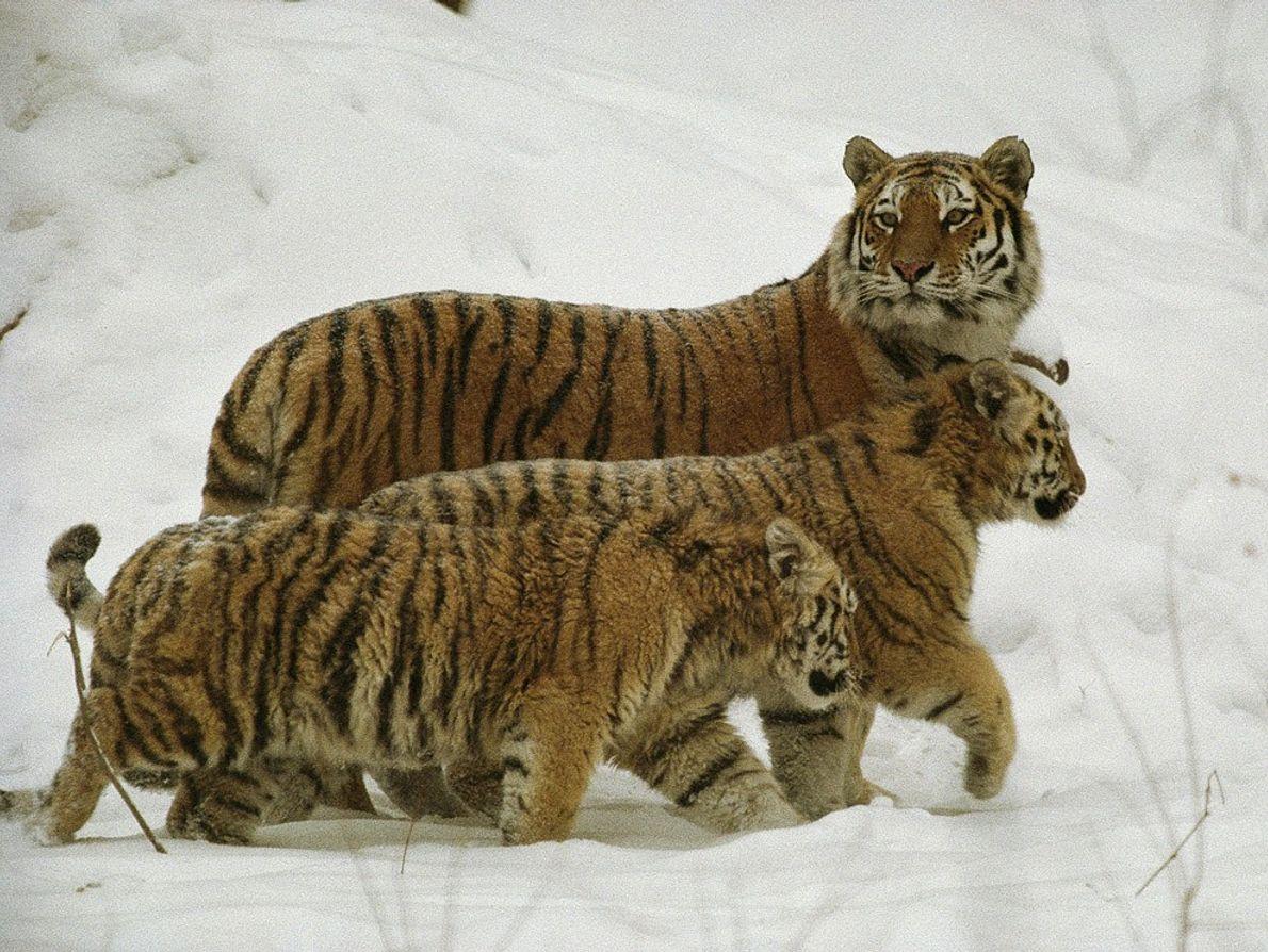 Das três espécies restantes de tigres, os tigres-siberianos são os maiores. Estando o seu efetivo reduzido ...