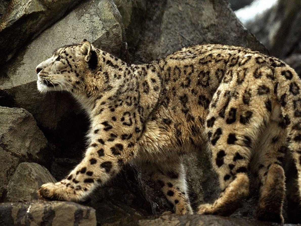Oriundo das montanhas da Ásia Central, o leopardo-das-neves raramente é avistado, com apenas cerca de 6000 ...