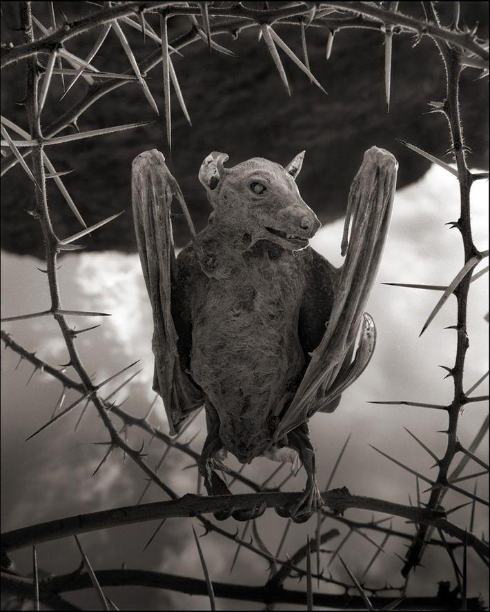 """""""Múmia"""" de morcego"""