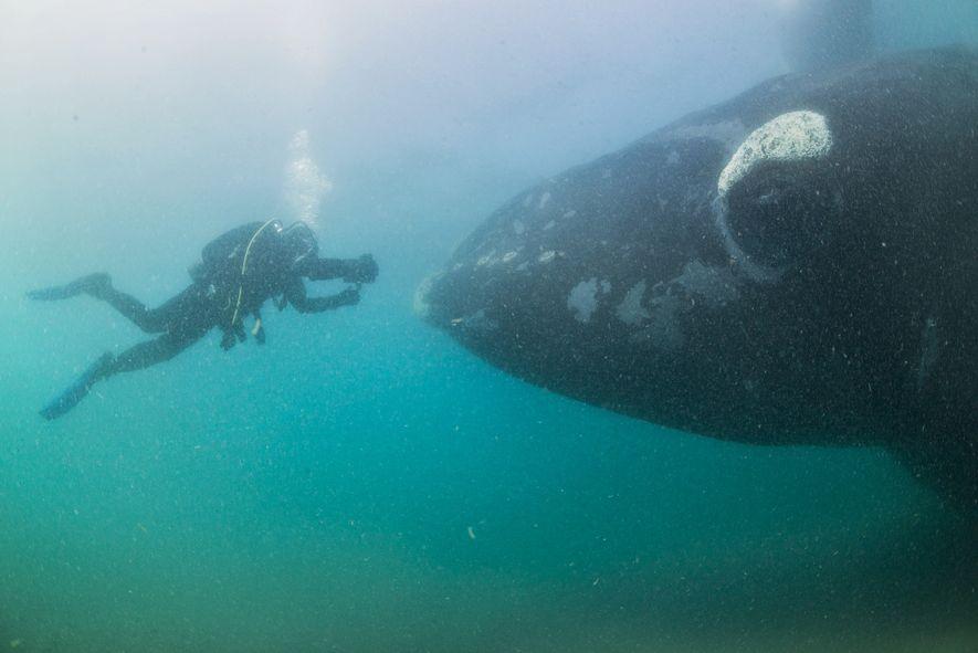 Fotógrafos capturam imagens surpreendentes da baleia-franca-austral