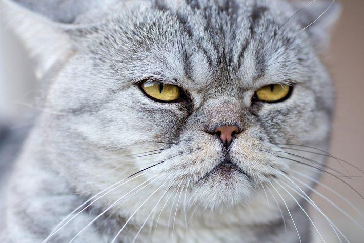 Foto de um gato doméstico cinzento