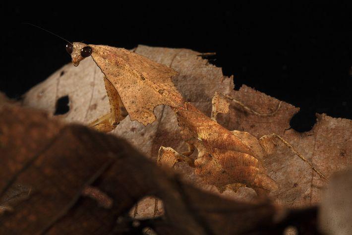 Mantis em ninho de folhas