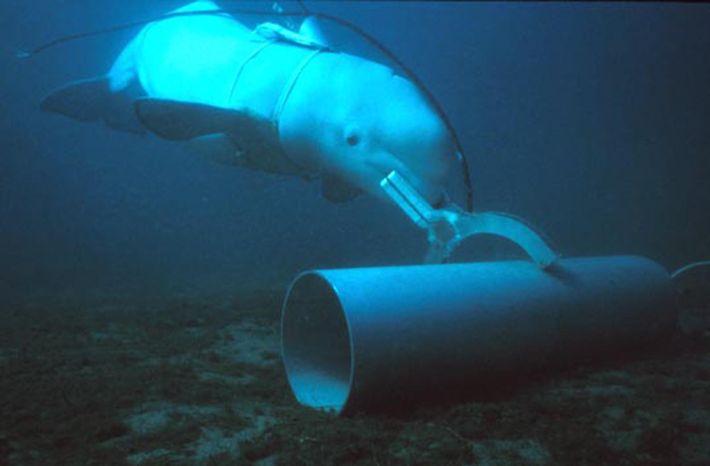 Uma baleia-branca, ao serviço da Marinha dos Estados Unidos, a identificar um alvo de treino.