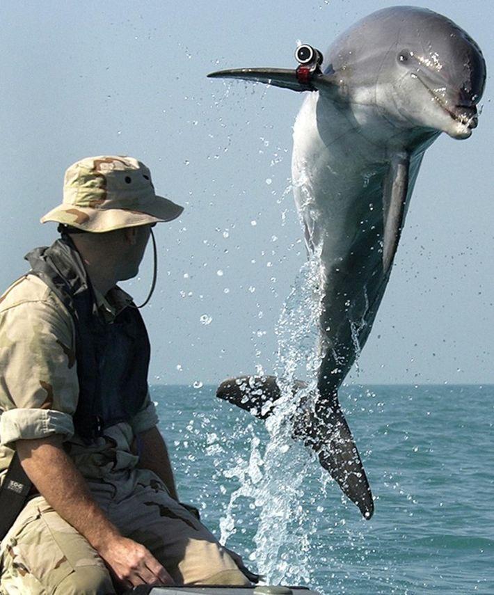 Um golfinho roaz-corvineiro, chamado K-Dog, a saltar da água durante um exercício da Marinha dos Estados ...