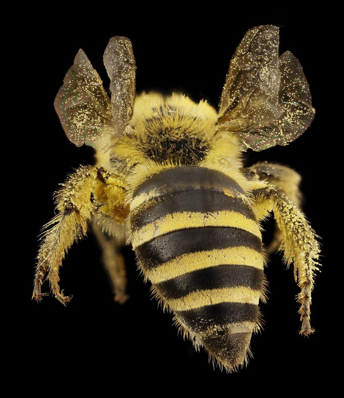 A abelha Colletes hederae é uma espécie nativa de Inglaterra e uma especialista em hera.