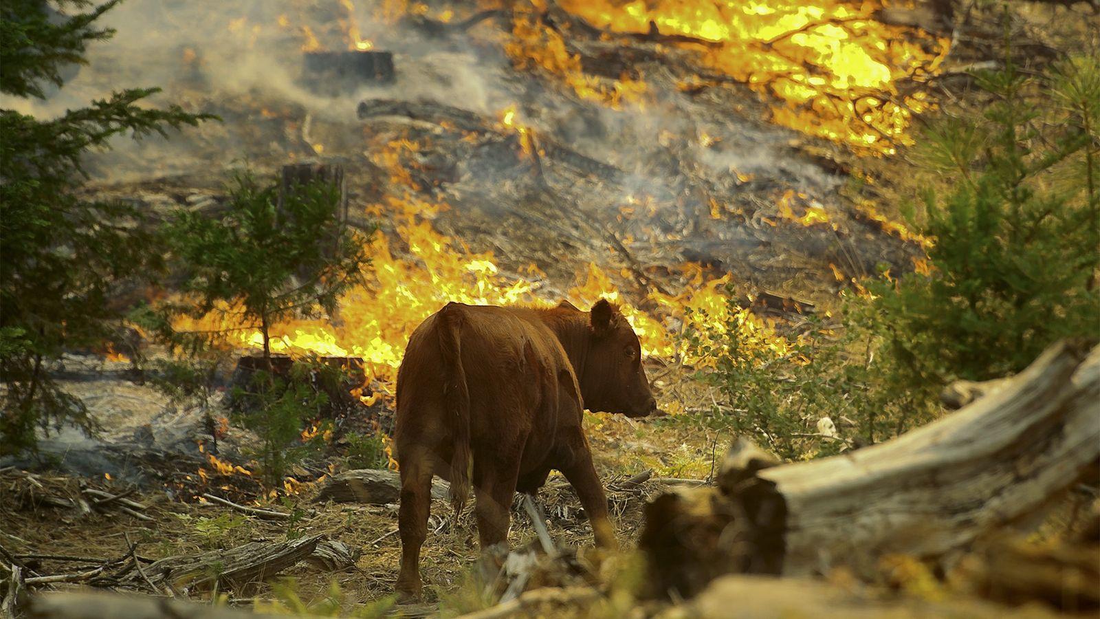 Uma vaca caminha entre as chamas do incêndio de Rim, perto da fronteira do Parque Nacional ...