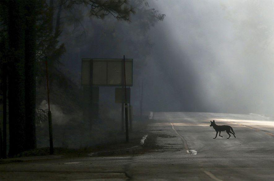 Um coiote atravessa a autoestrada 120 nos Estados Unidos, encerrada em virtude do incêndio de Rim, ...