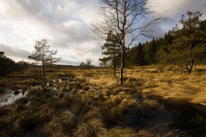 Uma parte dos restos do pântano onde o Homem de Tollund foi encontrado, na Península de ...
