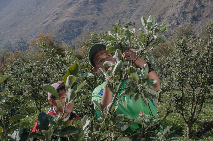 Fernando Condori Torres e o seu filho Gonzalo cuidavam de macieiras em frente ao sítio arqueológico ...