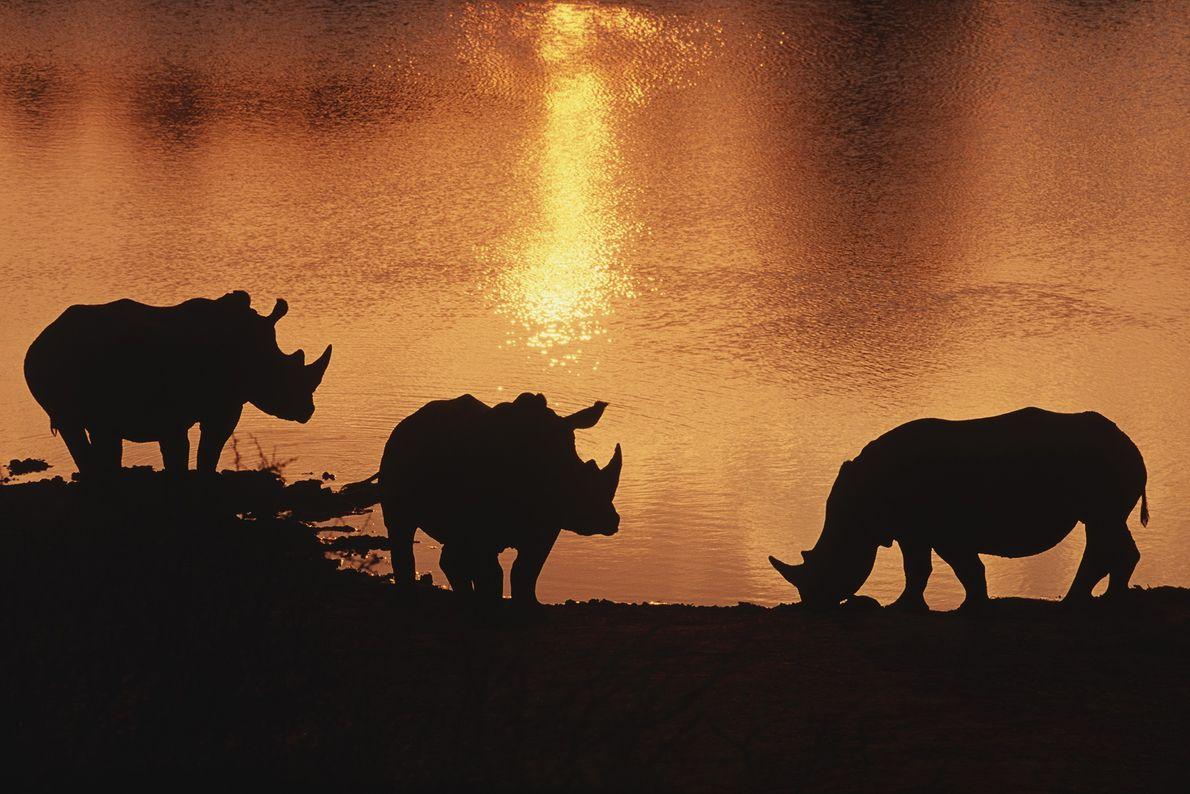 rinocerontes-brancos-do-norte