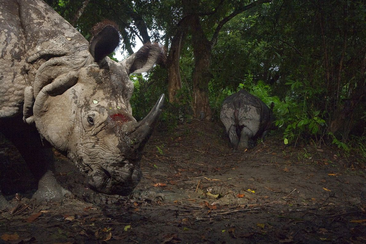 rinoceronte-indiano