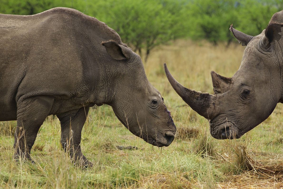 cornos rinoceronte