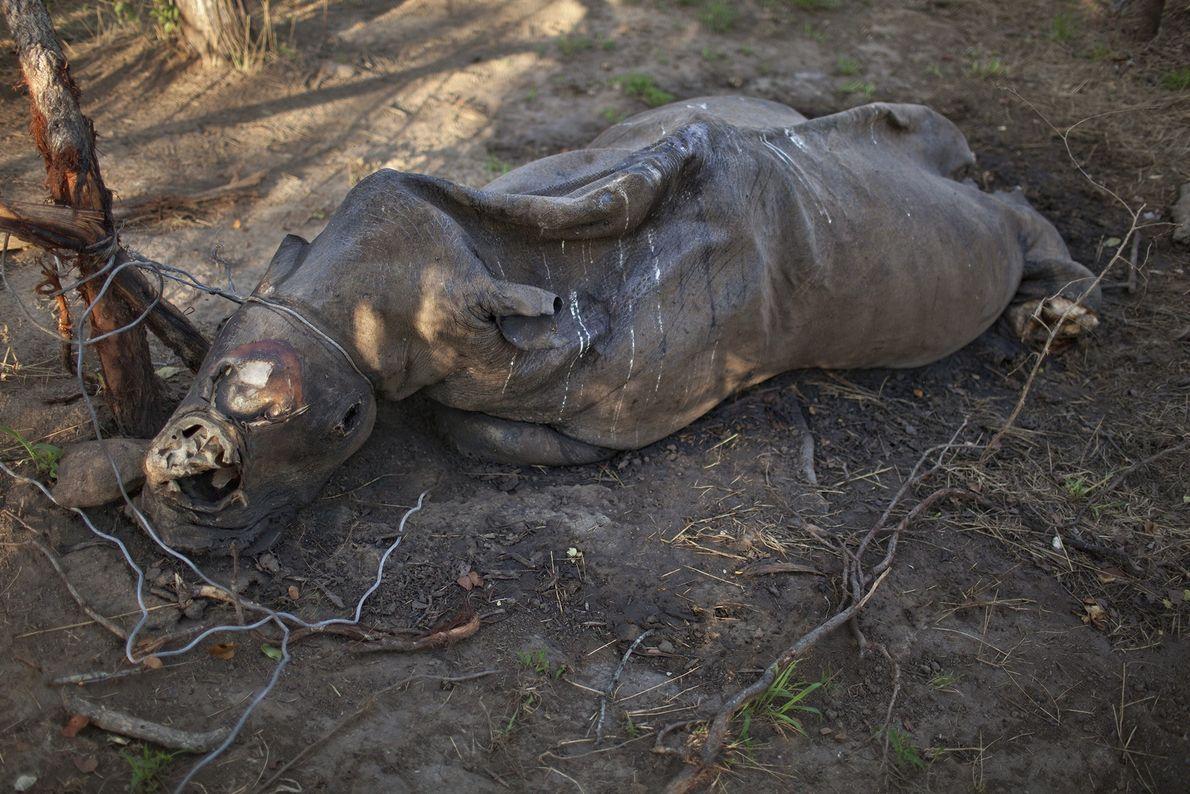 rinoceronte morto