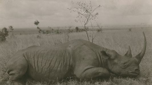 A Sobrevivência dos Rinocerontes-Brancos-do-Norte Depende da Saúde do Último Macho da Espécie