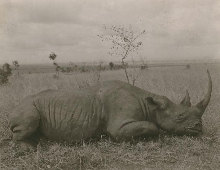 rinocerontes caça furtiva
