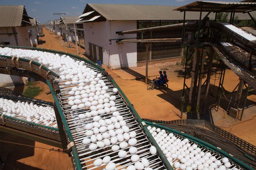 Todos os dias, 5.4 milhões de ovos frescos são recolhidos em transportadoras em três instalações da ...