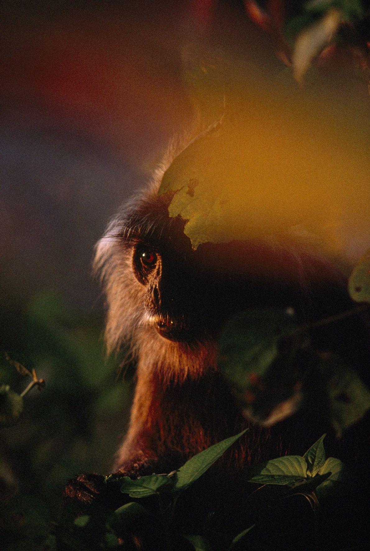 Macaco-folha-prateado