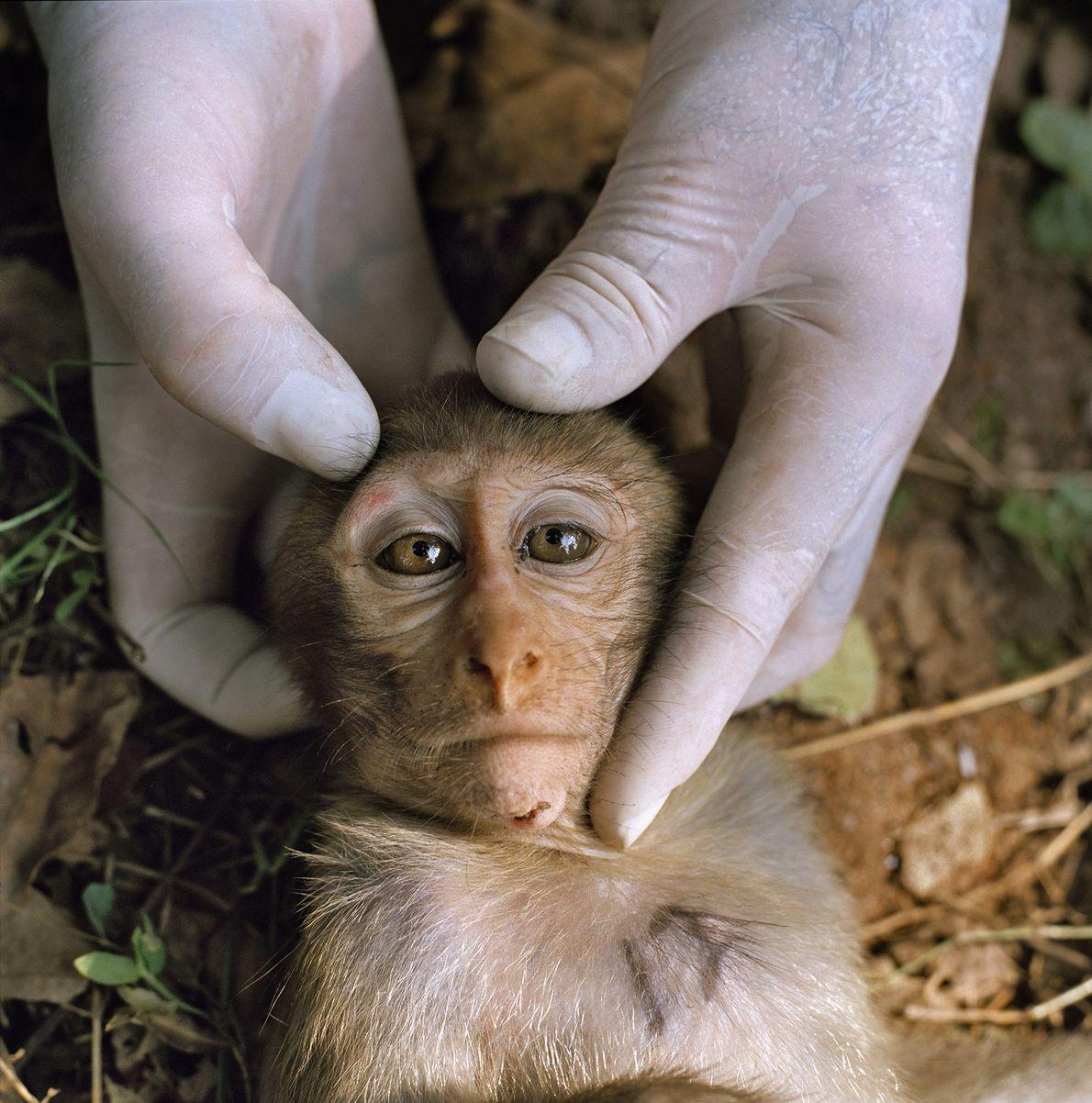 Macaco Ehesus Sedado