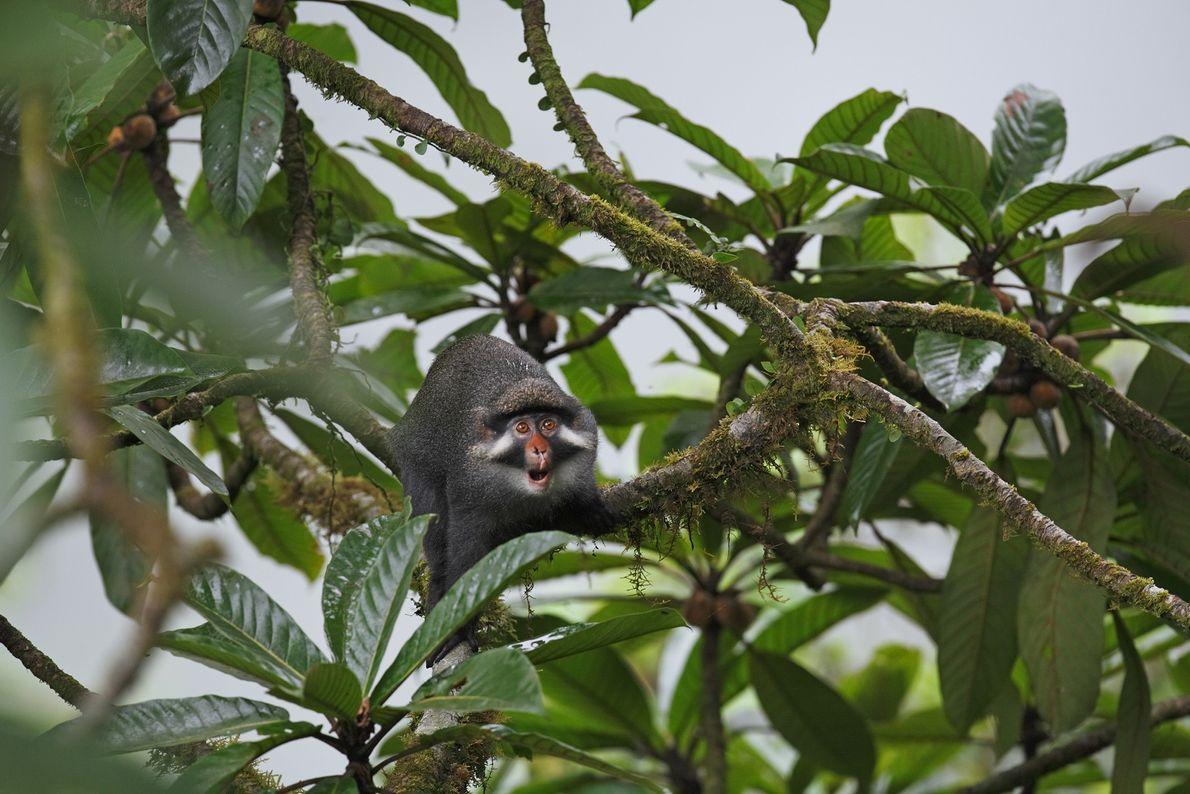 Macaco Cercopithecus Erythrotis