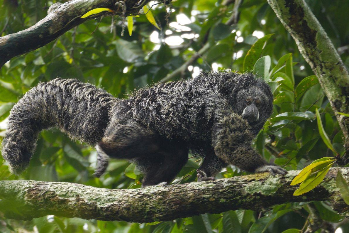 Saki Equatorial (Pithecia aequatorialis)