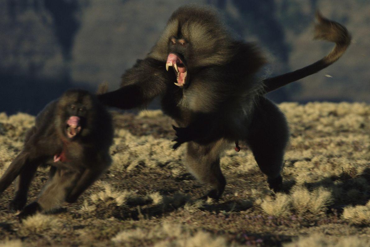 Macaco-de-coração-em-sangue