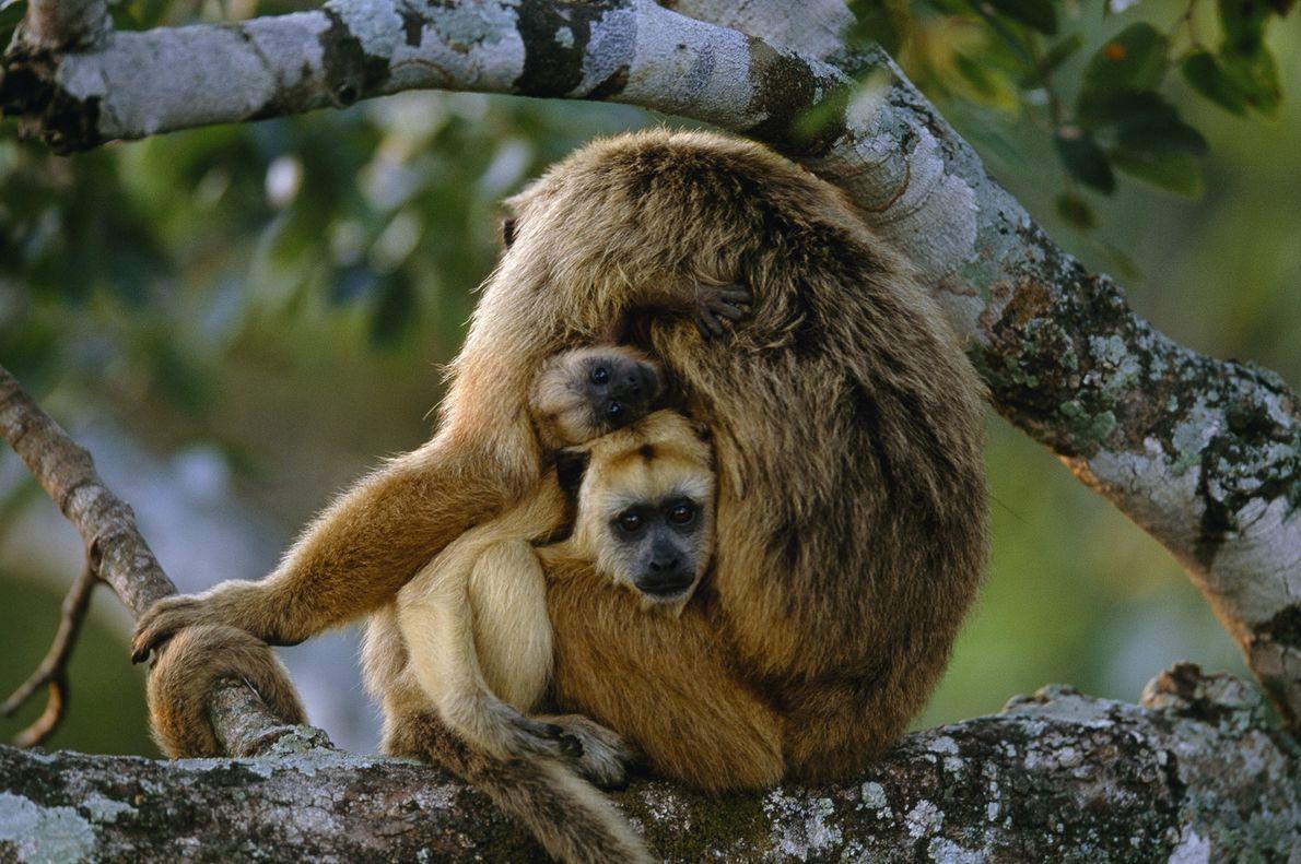 Macacos-uivadores
