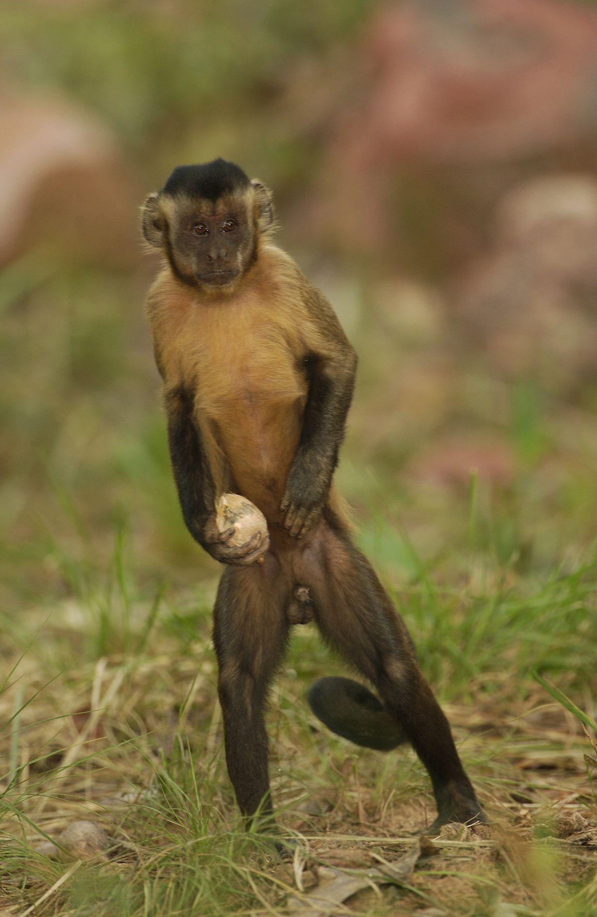 Macaco-prego e uma noz de ataleia