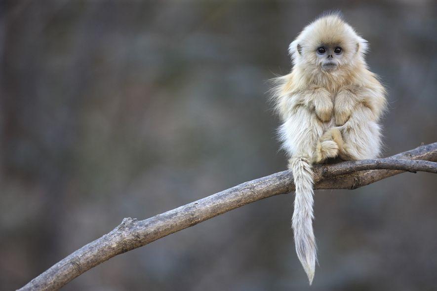 Macaco-dourado Empoleirado