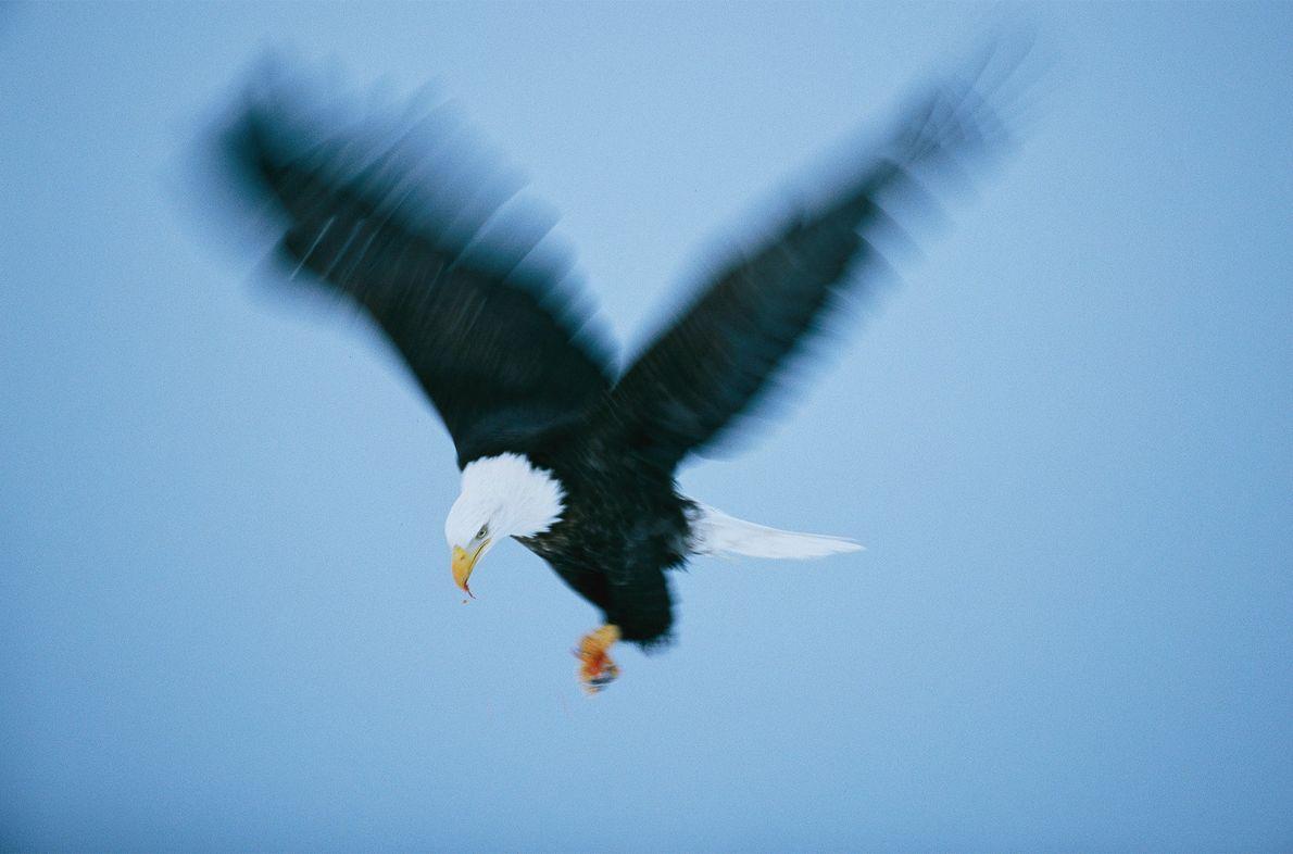 As Implacáveis Águias-de-cabeça-branca